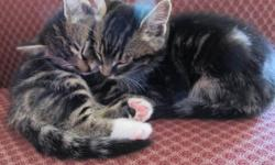 14 Week old personable loving kittens, great with kids and older cats.  1 female:  black with small pixy features; 2 black males with distinctly different personalities and 1 male tabby.  All are very affectionate, have great personalities, socialized and