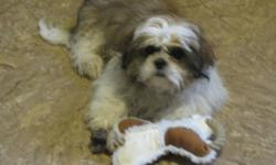 "SOLD     I have a 4 1/2 month old shih-tzu for sale...We bought ""Maddox"" about 3 weeks ago and he is an absolute sweet heart but with our busy schedules we are finding it hard to give him the love and attention he deserves.  He is fantastic with other"