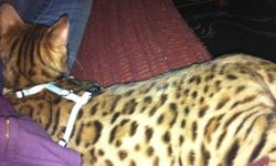 I HAVE A BEAUTIFUL MALE BENGAL KITTEN FOR SALE, I PAYED $1000 ASKING $600 FOR QUICK SALE. HE NEEDSA HOME QUICK AS I LAST MINUTE AM FORCED TO LEAVE MY HOME TOWN TO KELOWNA AND I CANT TAKE MISTER WITH ME :( HES SUCH A GOOD OY AND VERY HEALTHY :)  HES STILL