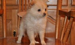 4 toy Pom-Chi puppies, 2 males in the first 4 pictures and 2 female in the last 4 pictures, they will be 4 to 6lbs when they are full grown, their father is a Chihuahua and their mother is a Pom, highly intelligent, extremely friendly, great companions,