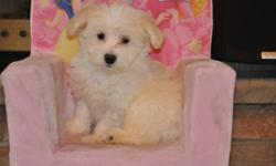 5 Bichon X Maltese puppies, 4 boys in the first 8 pictures and 2 girls in the last 4 pictures, the mother is a pure Maltese 8lbs, the father is a pure Bichon 14lbs, non-shedding, hypoallergenic, extremely friend, good companions, ready to go their new