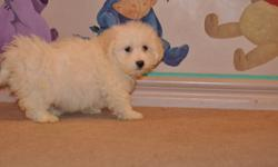 5 Maltese X Bichon puppies, 3 boys in the first 6 pictures and 2 girls in the last 4 pictures, the mother is a pure Maltese 8lbs, the father is a pure Bichon 14lbs, good companions, extremely friendly, non-shedding, hypoallergenic, ready to go their new