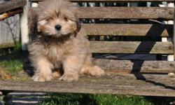 5 Maltese x Lhasa Apso puppies, born Sept. 14th, 3 males in the first 6 pictures and 2 females in the last 4 pictures, their father is a pure Maltese and their mother is a pure Lhasa Apso, they will weigh 12 to 14lbs when full grown, non-shedding,