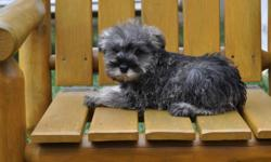 5 Miniature Schnauzer puppies, born Oct. 9th, 2 males in the first 4 pictures and 3 females in the last 6 pictures, they will weigh 12 to 15 lbs full grown, both parents are pure Miniature Shnauzers, non-shedding, hypoallergenic, highly intelligent,
