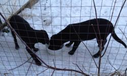 2 - 5 month old female puppies looking for a good home ready to go just in time for Christmas . This ad was posted with the Kijiji Classifieds app.