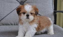 5 Shih Tzu puppies, born August 28th, 3 males in the first 6 pictures and 2 females in the last 4 pictures, non-shedding, hypoallergenic, home raised, good with children, highly intelligent, extremely friendly, 1st set of needles, dewormed, Vet. checked
