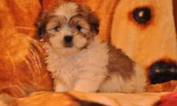 5 Shih Tzu X Maltese puppies, 3 males in the first 6 pictures and 2 females in the last 4 pictures, their father is a Maltese and their mother is a Shih Tzu, they will be 8 to 10lbs full grown, hypoallergenic, non-shedding, good with children, great