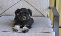 6 Miniature Schnauzer puppies, born August 5th,1 male in the first picture and 5 females in pictures 2,3,4,5,6. Their parents are pure Miniature Schnauzers and this is their mother's first litter, non-shedding, hypoallergenic, extremely friendly, great