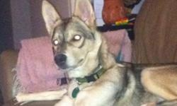 Male husky in need of a good home. He is house trained loves to cuddle and play know basic commands. This ad was posted with the Kijiji Classifieds app.