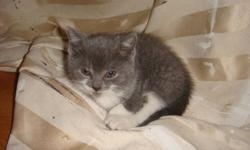 """I rescued a stray mother and her litter of 3 kittens living in an alley behind a garage.   **One Kitten and her mother need homes, together or separate.   The Kitten, """"Sarah"""" is Grey and white, smart and very aware of what is going around her. She loves"""