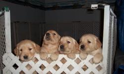 For Sale to good home 8 Golden Retriever puppies $395.00 each vet checked with first shots.  7 males and 1 female. Mother and Father on site.  Ready to go beginning of January.  Located in Cobourg.
