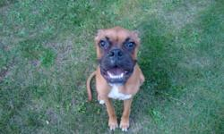 Looking for a home for our 8 month old boxer puppy. His name is Rocky he is unfixed, however he has had his first 2 sets of needles. His tail is not docked and his ears are not cropped. The reason we are re-homing him is because both myself and my spouse