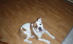 8 month old female brown and white bulldog/boxer cross.  We are asking $1000 to offset the money we have put into her.  She is spayed, and fully up to date on all her shots. She is a lovely dog, friendly and easily trained.  Unfortunately our dog will not