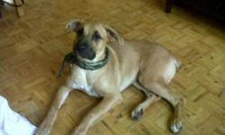 Selling female boxer mixed with German shepherd puppy. She lives with 2 young children, and great with kids all around. She is very friendly, but she is shy upon first meeting you.She has her first set of shots , tail docked and dew claws removed . I