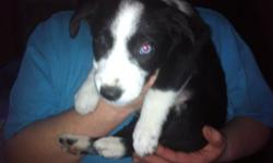 Border collie terrier cross. There are 3 males & 1 female left, paper trained. Make an adorable Christmas present! the first puppy has 1 bule eye and 1 brown eye. the second pic is the female. This ad was posted with the Kijiji Classifieds app.
