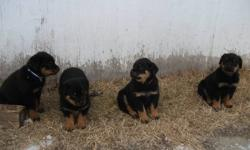 I HAVE 5 BABY ROTTIES LEFT FROM A LITTER OF 10,  THEY ARE 8 WEEKS OLD HAVE 1ST SHOTS AND DEWORM, DEW-CLAWS REMOVED, AND TAILS ARE DOCKED, THEY ARE SWEET LITTLE GUYS AND NEED A GREAT HOME THAT HAS LOTS OF ROOM TO LIVE HAPPY, TEXT ME OR LEAVE A MESSAGE,