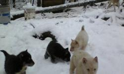 Beautiful pups , blue eyes,  mixed , or brown All colors; White, Black with mask, Brown, Grey wolf from the pack of Sled Dogs; gentle and loves the kids, playful, enjoy the snow Quality garanteed lots to choose from mother Ice, Lisay, Miss Gros Nez prices