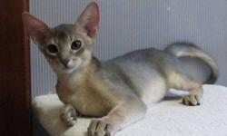 Stunning Blue Abyssinian boy and Fawn Aby girl available for adoption. Playful and affectionate these beautiful kittens are healthy and full of energy but also like their cuddles.