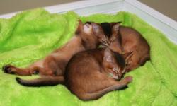 Beautiful and healthy Abyssinian kittens are looking for a loving family. ACFA Registered, vaccinated, toilet trained. Ready to go last week of November or I would hold them until Christmas. Feel free to come and meet them. One kitten left to go! Would