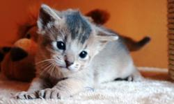 PLEASE ***do not send to us e-mail without identification*** *do not send to us e-mail pUTTING a price in our cats*   We Have Available: 01 Blue Female Abyssinian (as a Pet or breeding). 01 Ruddy Females Abyssinian (as a Pet or breeding).   About Us and