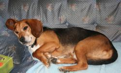 Hi there, my name is Sherlock and I am a very handsome black and tan beagle looking for a forever home. Let me tell you a bit about myself. I love people and like hanging out with other dogs. If you are looking for a new friend to join your family then