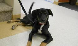 Levi is a fun, wiggly and happy pup! He would love a family to play with him and give him lots of snuggles! Levi is at the perfect age to begin training and he is sure to make a wonderful addition to almost any home! Adopt for only $200.00! Adoption fee