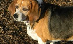 Misty is a darling beagle. She is a little plump right now but her foster Mom is working with her to get her girlish figure back. Misty was 49lbs when she first came to Beagle Paws and is now down to 38lbs since being in foster care ....YAY! Misty is a