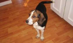 Quinn is a sweet 9 month old female Beagle looking for her forever home. She is good with cats and other dogs. She needs a little work on her house training as she came from a place where she lived in an outdoor cage. She will be spayed and is up to date