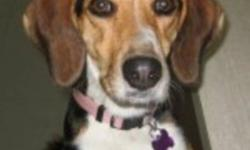 Lulu is a very pretty beagle cross. She is very playful and knows a few commands. Lulu will make a great companion for the right owners. We feel that this loving young girl will make a great family pet. If you are interested in meeting this silly girl,