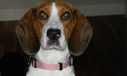Bristol is a very sweet beagle looking for a home. She is having a great time in her foster home but would love to find our forever home. Bristol enjoys going for walks, lots of cuddles and of course play time. Contact us to find out how you can meet