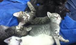 These kittens are 7 weeks old and are currently litter trained but are still in the beginning stages of eating solids they will be ready to pick up in 1 week they are very healthy. The grey kitten as well as the white are both staying.The other 4 are very