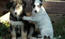 Super sweet blue heeler/border collie mix puppies. These puppies are very social and outgoing, and highly intelligent! They will make excellent family pets. Ideally suited for homes with some yard space at least, and they will love a daily walk for
