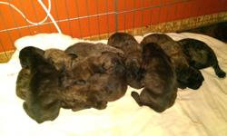 There are now 5 girls and 1 boy left looking for their forever pet home. The babies will come vet checked first set of shots dewormed and microchipped. The babies also come with a little puppy pack ( toy collar and a bit of food to get you started) they