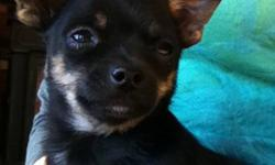 Sweet affectionate 15 week old Chihuahua puppies for sale. One fawn male, one black and tan male. 4-5 lbs when full grown. Champion bloodlines and vet checked. Parents are healthy and good natured. Immunized and dewormed. In home raised, great with