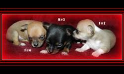 ADORABLE CHIHUAHUA PUPPIES ************************************ 2 FEMALES ...1 MALE 2 FEMALES ARE SABLE & WHITE MALE IS A TRI-COLORED BL/WH/TAN THEY ARE SHORT COATS NOT READY TO GO YET.. WILL BE READY DEC.4  ... CAN PUT NON-REFUNDABLE DEPOSITS TO HOLD