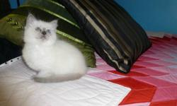 Beautiful TICA Registered Ragdoll Kitten is available for adoption.. Kind complimentary references are available from our family Veterinarian & also from previous adoptees. Although all kittens are cute, one benifit to adopting a pedigreed Ragdoll kitten