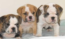 Adorable English Bulldog pups brindles, fawns,males and females,vet checked vaccinated,micro-chipped,house and crate training started and doing very well also all pups come with a 2 year genetic health guarantee
