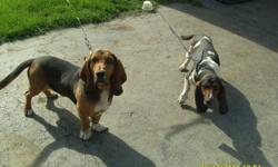 I have 1 adorable Basset Hound puppy for sale to a good loving home. She is $500.00. That includes:  1st & 2nd set of shots, vet check, deworming & health record. She is ready to go Now !!! For more info or pictures please call: Rebecca 780-625-2697 or