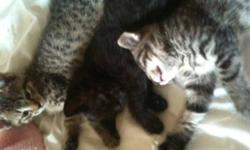 My cat has had a beautiful littre of kittens. There are 3 kittens in this littre. 2 tabbies that are females and 1 male that is black. Theese kittens are used to kids and being held and they love it!!! They love to snuggle in with you at night time.