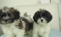 We have two very cute little shih poo puppies They have their 1st shot, and come dewormed. They will mature to be between 9 and 11 lbs They're non-shedding and hypoallergenic. Call 905-891-9666