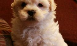 Only 4 adorable maltese x shih tzu puppies available! We have 3 males and 1 female malshi at this time. They are a beautiful light cream colour. These puppies have amazing temperaments, they are very social, loving and very playful with their tails always