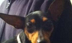 THE PERFECT CHRISTMAS GIFT!! We have an adorable 10 month old min pin for sale. Her name is PIP and she was the runt of the litter. Her mom is a purebread min pin and her dad is a min pin chihuahua cross. She has had her tail docked, dew claws removed and
