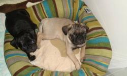 These three pug puppies need a loving forever home, where they will be loved as much as they are now. They are pee pad/paper trained. They love to cuddle and play. They have a sweet personality and a good temperment. They get along great with other dogs.