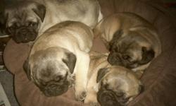 ONLY 1 ADORABLE  MALE FAWN PUG PUPPY LEFT, looking for his forever home.  Both fawn parents on site.  Vet checked, shots and dewormed. This little guy is very handsome, he looks just like his dad who comes from 5 generations of champions.   He is very