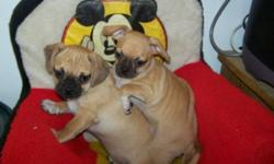 These cuties look like a minature Pug. They are ready to go with shots and dewormings.Males $325. Females $350. Deposit will hold for Christmas. 2 Girls (Pic1) and 2 Boys(pic2). 1 boy and 1 girl left.