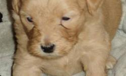 There are two dogs that have had puppies approximately a week apart, the mothers and their babies are in need of loving homes.  These dogs are a part of a rescue effort.   One litter is Poodle Cross.  There are 4 females, 3 males.(blacks, tans, and 1