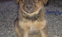 We have 5 very cute puppies for sale. The father is a purebred Austrailian Shepherd, and the mother is a mix-breed. She has the coloring of a German Shepherd, but possibly has Yellow Lab and Siberian Husky in her. The father has a very sweet, personable