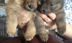 Responsible and experienced breeder has only one pup left from the latest litter of Tri-color pom pups.   Already has the certificate of health from a Vet and 1st set of shots - dewormed and looking for a special home like my other brothers and sister. I