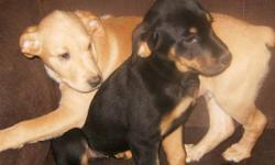 I have 2 puppies left out of a litter of 6 puppies. The Blonde one is a male, and the other is female..They are very loving and friendly puppies... They have been raised around other animals such as cats and also around young children. They have had their