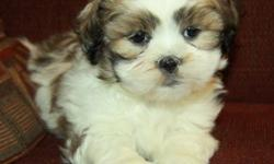 Adorable little Shih Tzu puppies! Males and females currently available. Shih Tzu?s are small lap dogs that are highly social and love to be around their families. They are great with kids and make excellent family pets. These pups will mature around